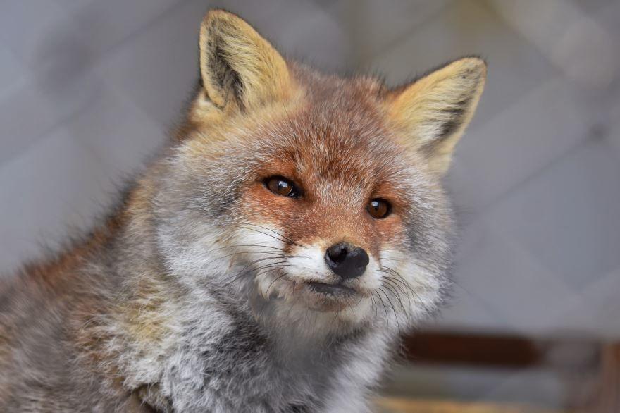 Фото картинки лисы - хитрого животного