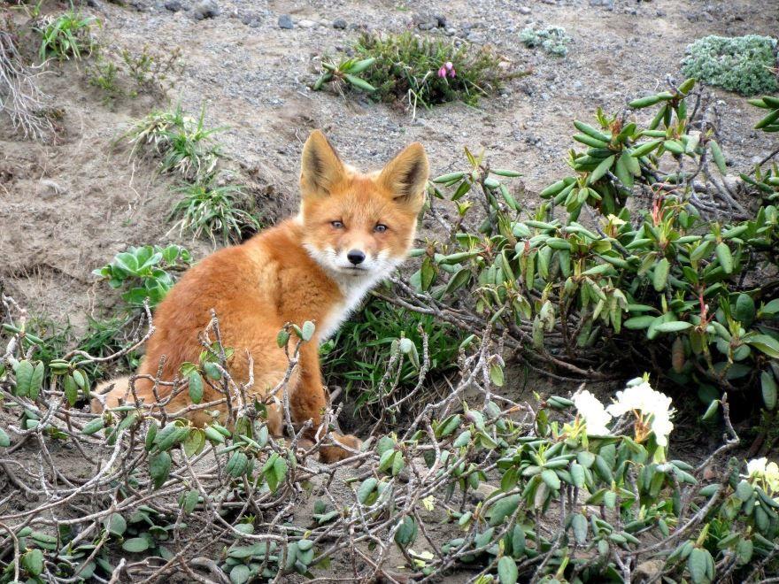 Лучшее фото хитрой лисы