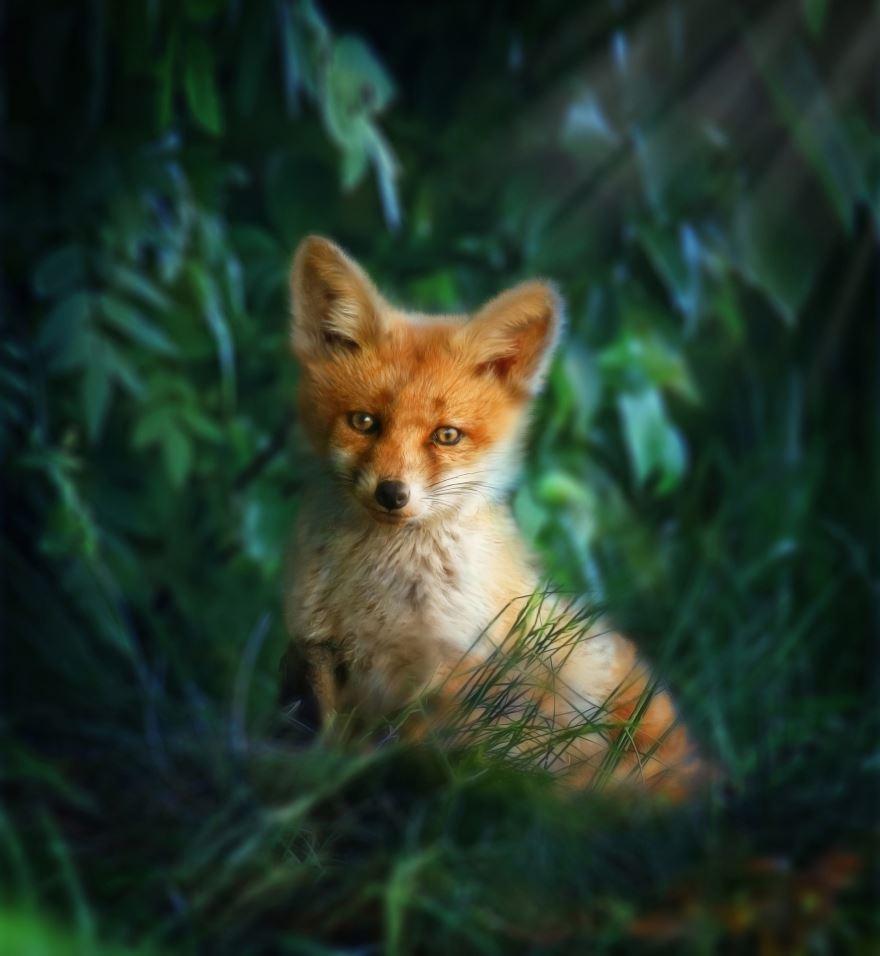 Фото лисы онлайн в хорошем качестве