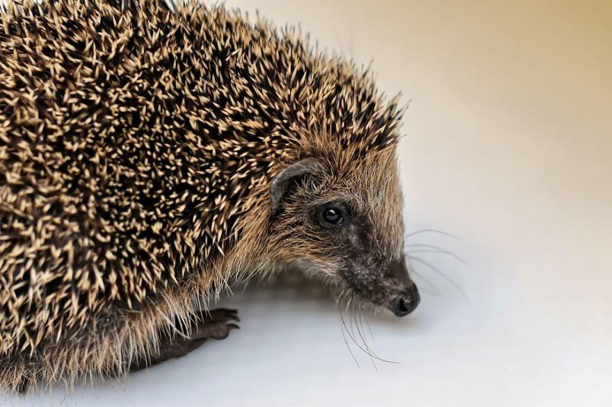 Бесплатно смотреть фото животного с иголками - ежа