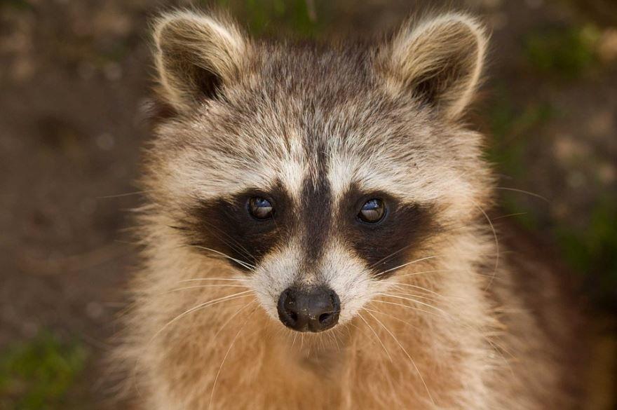 Смотреть онлайн красивые фото енотов