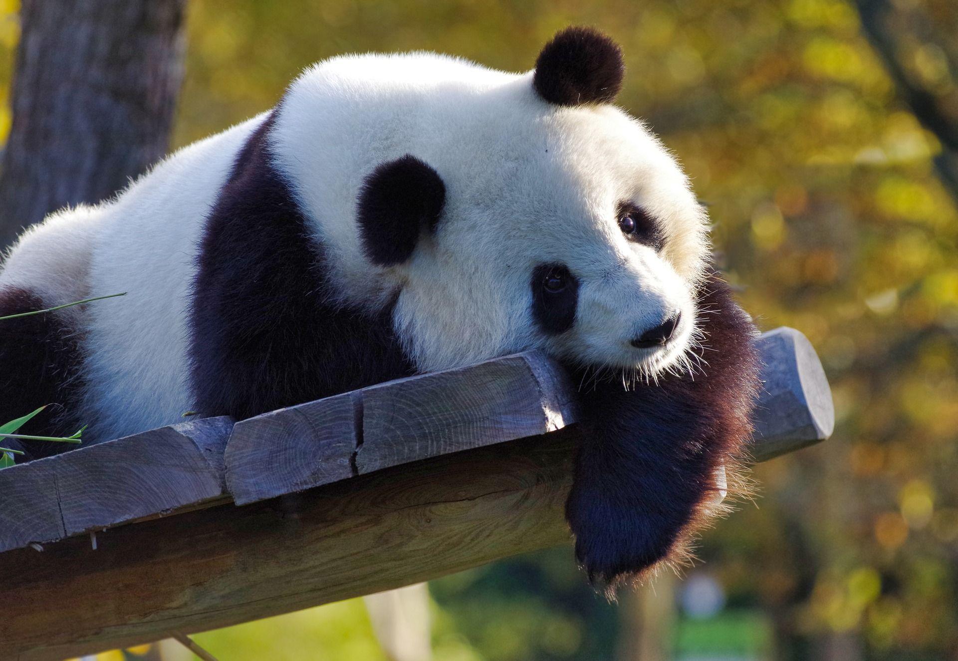 Смешные панды, смотреть фото онлайн