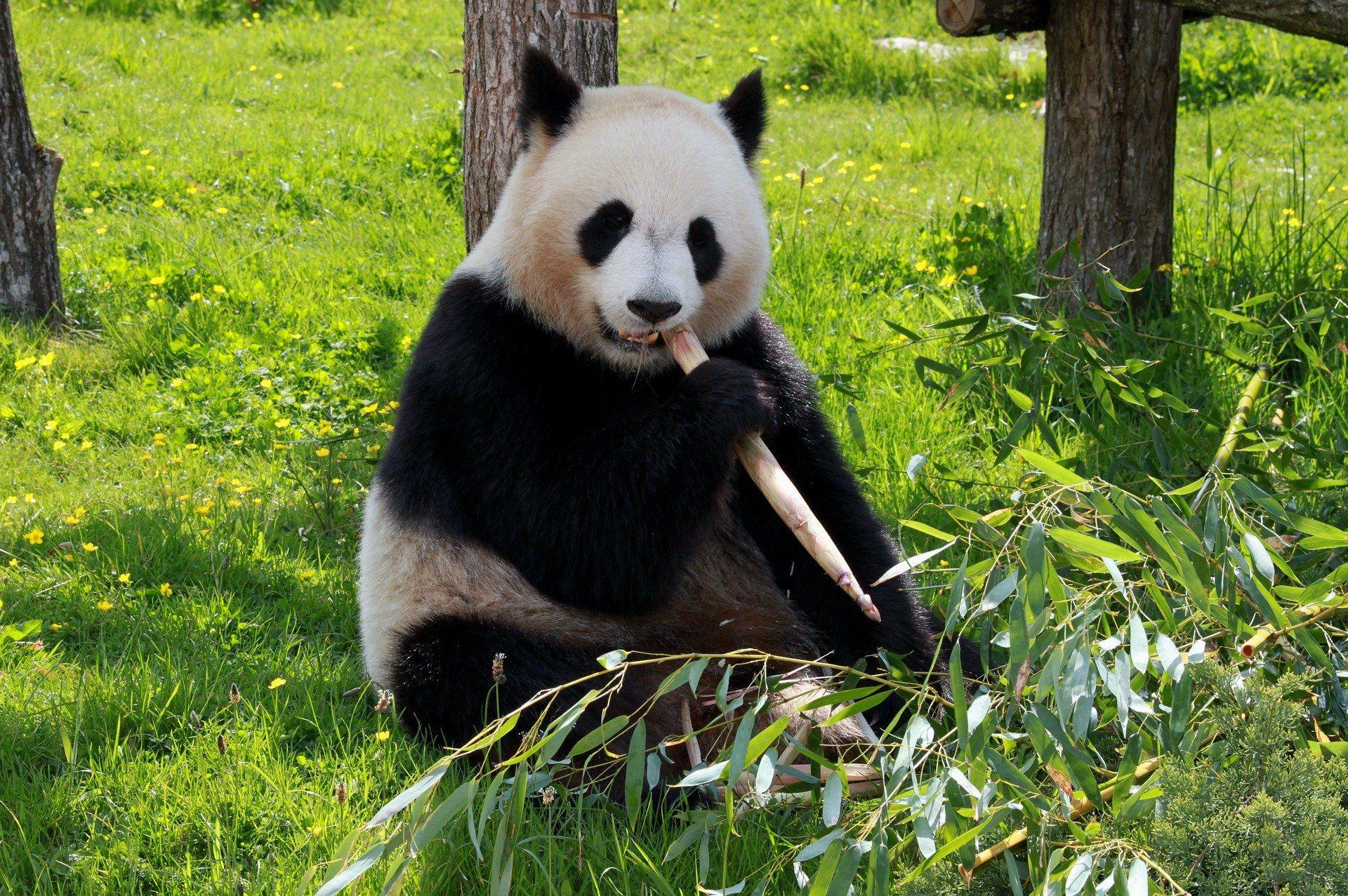 Скачать фото и картинки смешных и милых панд