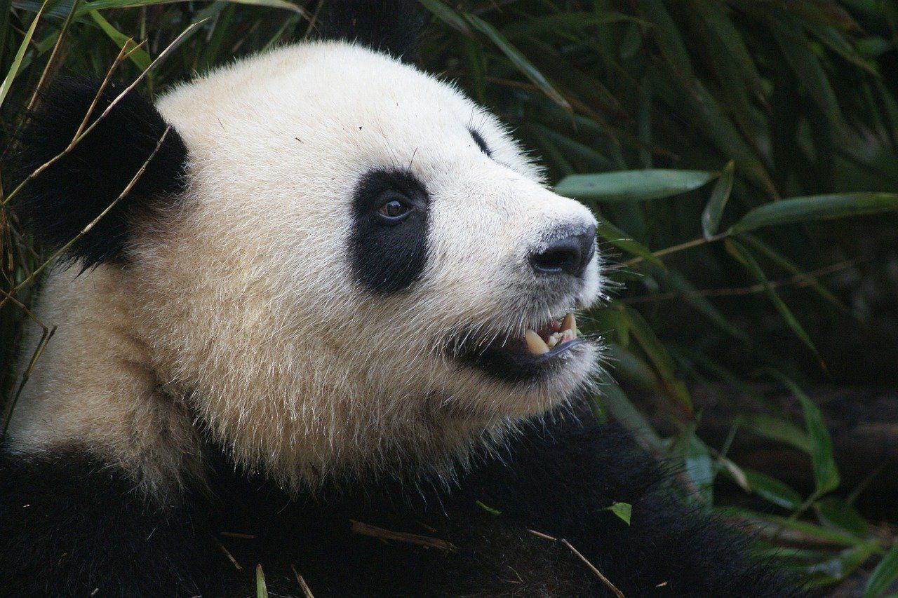 Лучшие фото прикольных и смешных панд