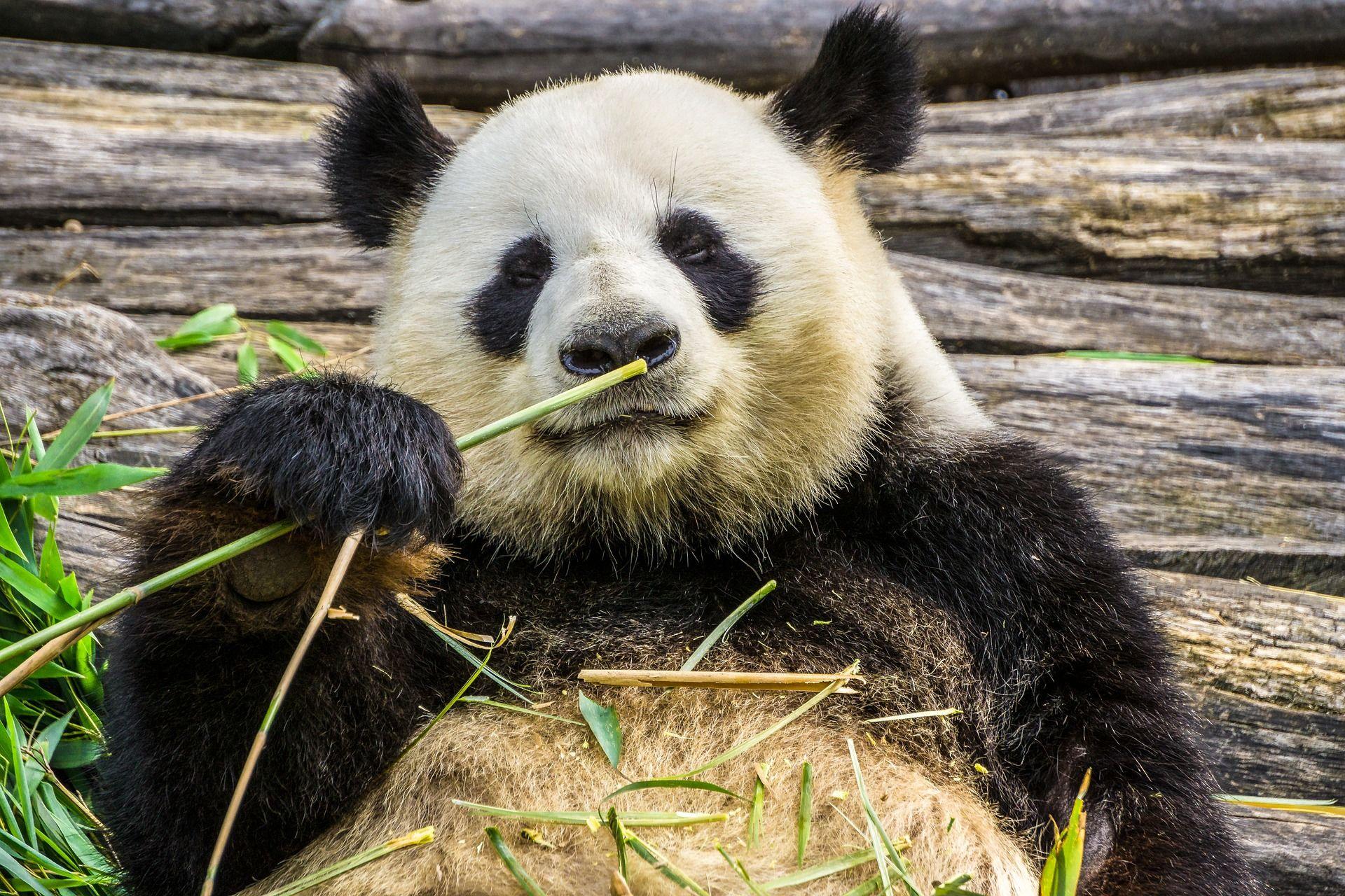 Скачать фото милых панд бесплатно