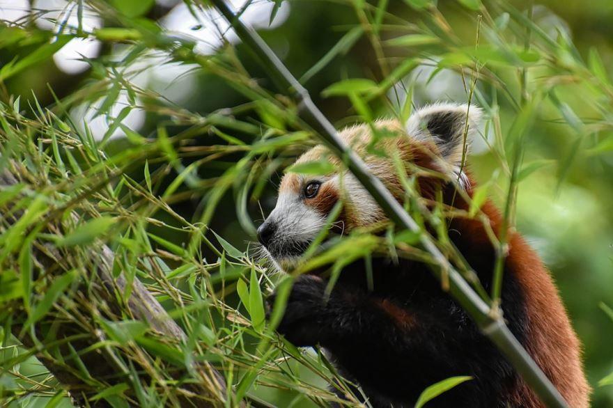 Бесплатные фото красных панд в хорошем качестве