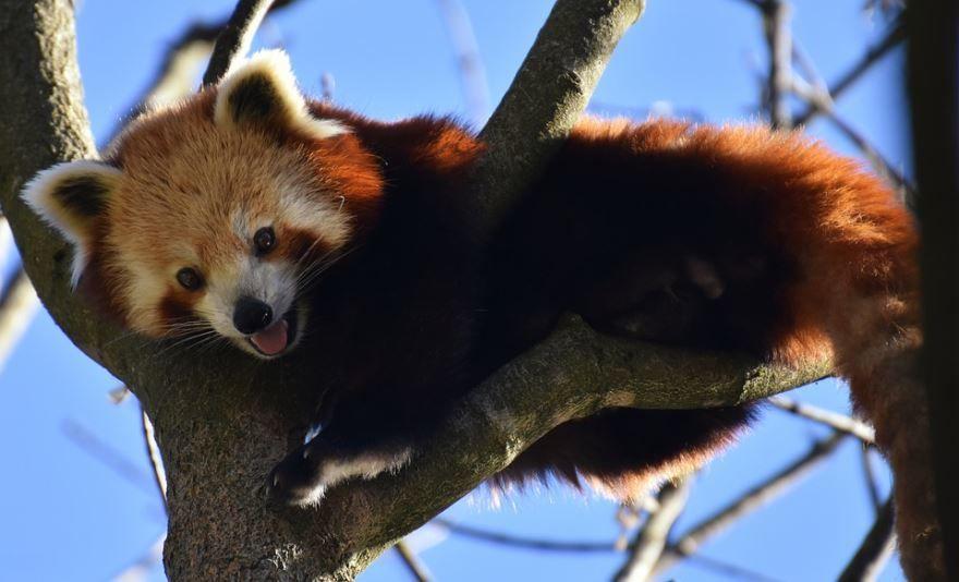Фото и картинки красных панд в России