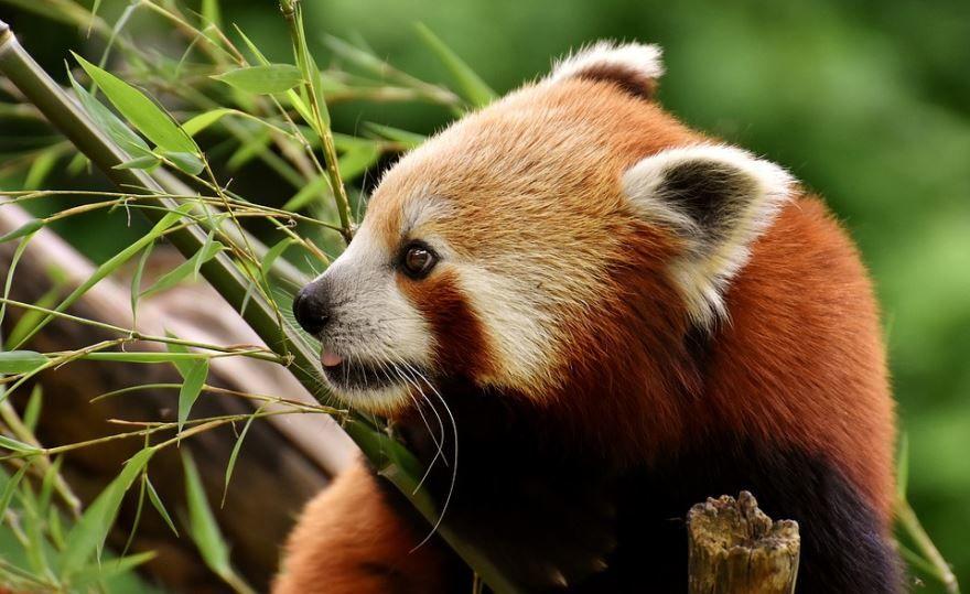 Скачать фото милых красных панд бесплатно