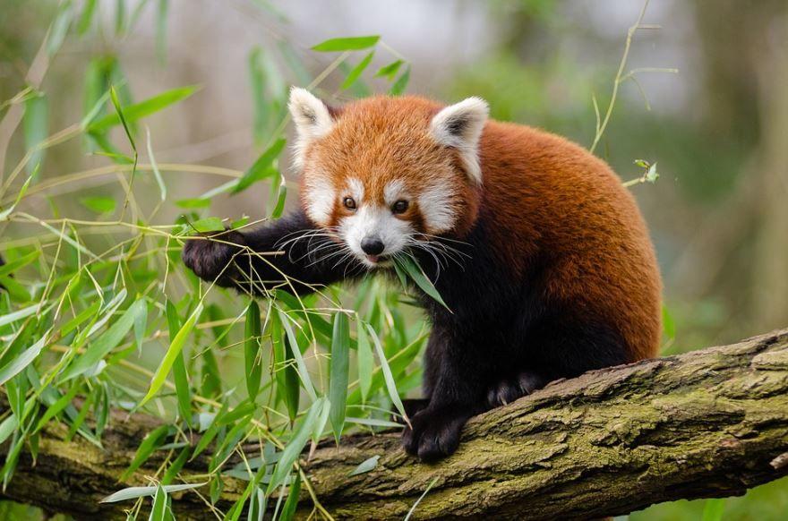 Лучшие фото прикольных и смешных красных панд