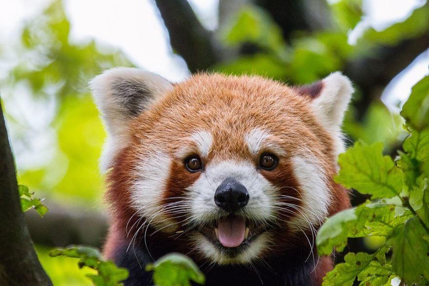 Красная панда, скачать фото