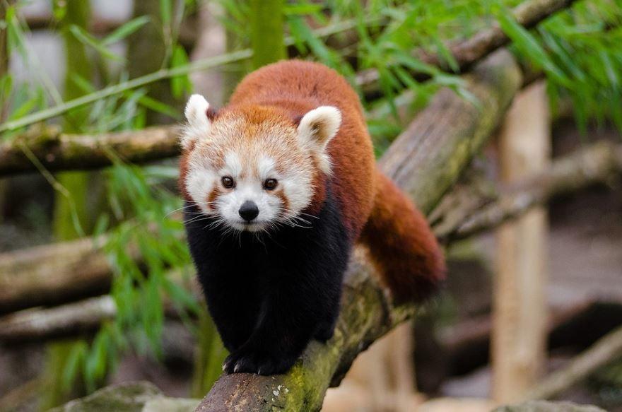 Милые красные панды, скачать картинку