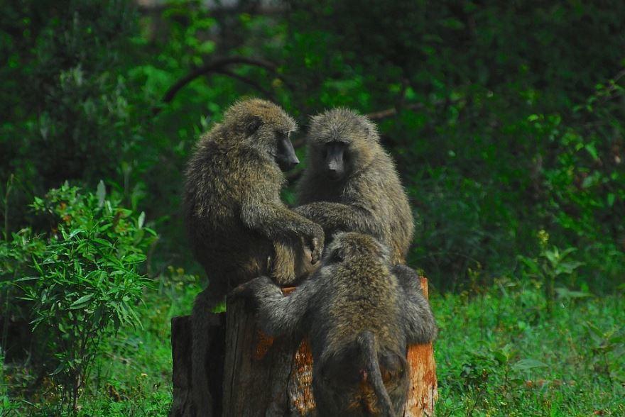 Картинки обезьяны - бабуин