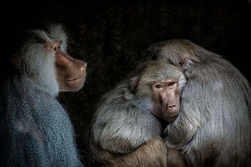 Скачать красивую фотографию бабуина