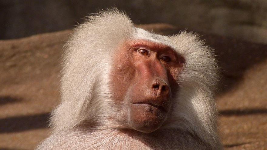 Хорошее фото бабуина, смотреть онлайн