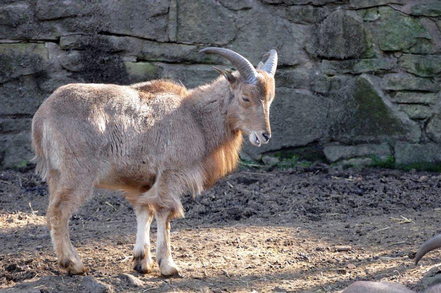 Смешные фото баранов, скачать онлайн