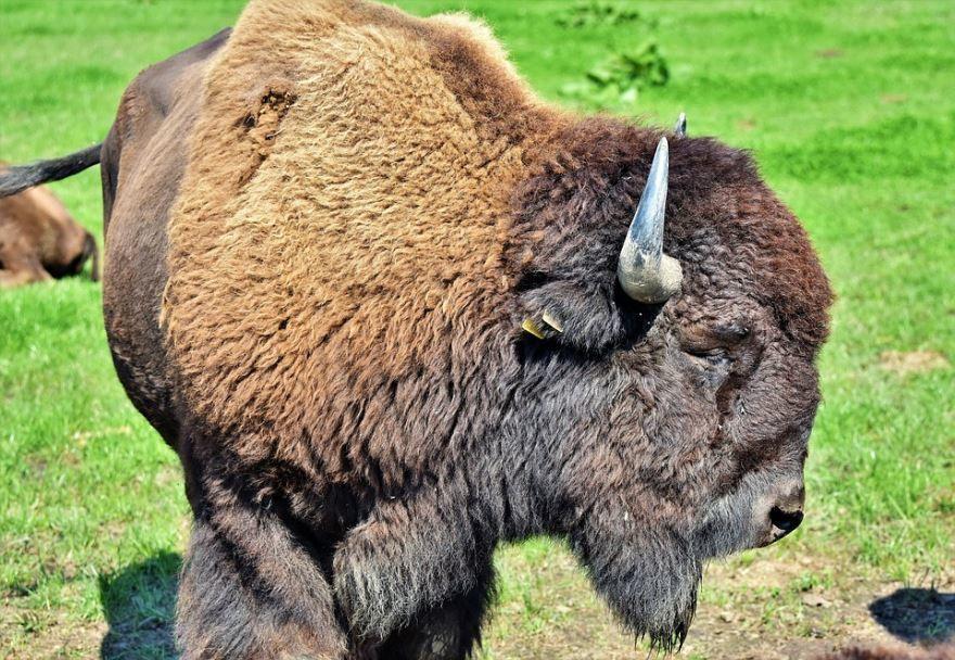 Лучшие картинки и фото бизонов