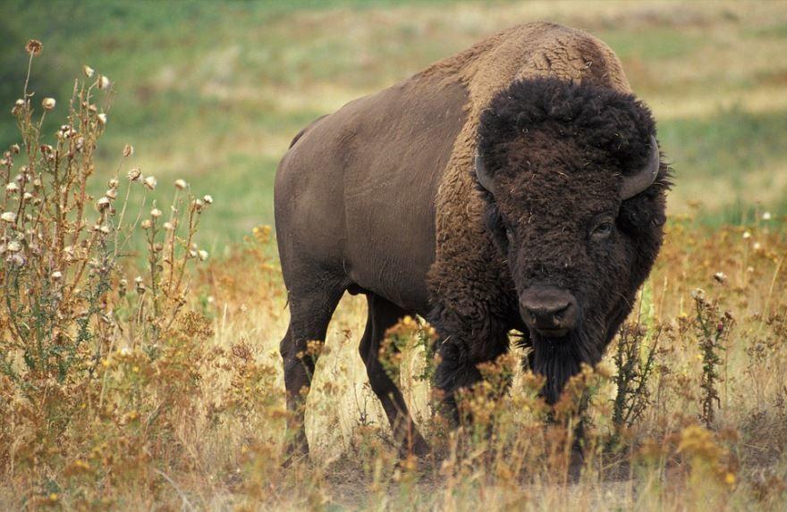 Скачать фотографии бизонов бесплатно