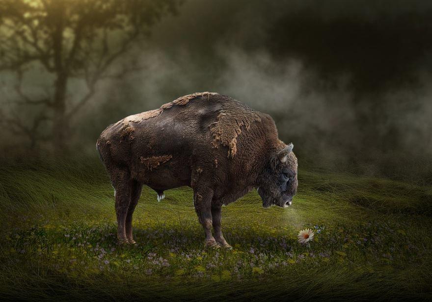 Купить фото бизонов? У нас бесплатно можно скачать