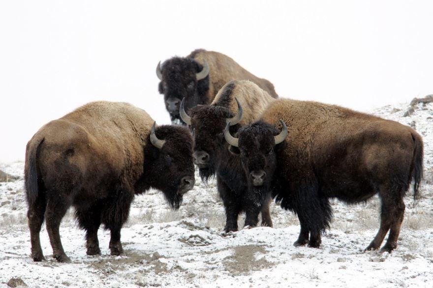 Бесплатные фото больших бизонов