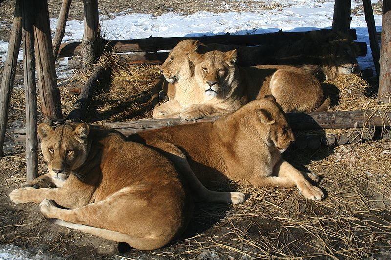 Фото самого большого животного рода кошачьих - лигра