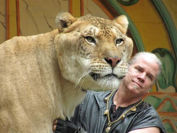 Картинки большого животного - лигра