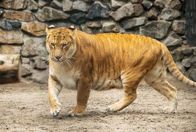 Фото гибрида тигра и льва - лигра