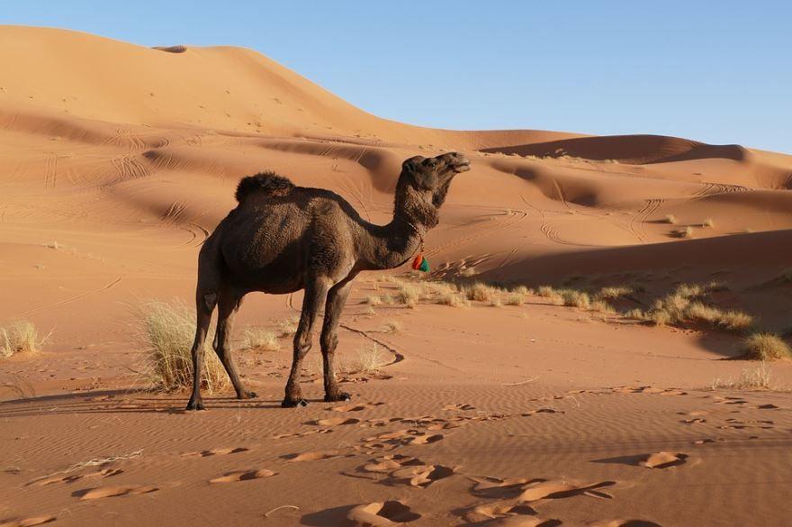 Фото верблюда с горбами, скачать бесплатно