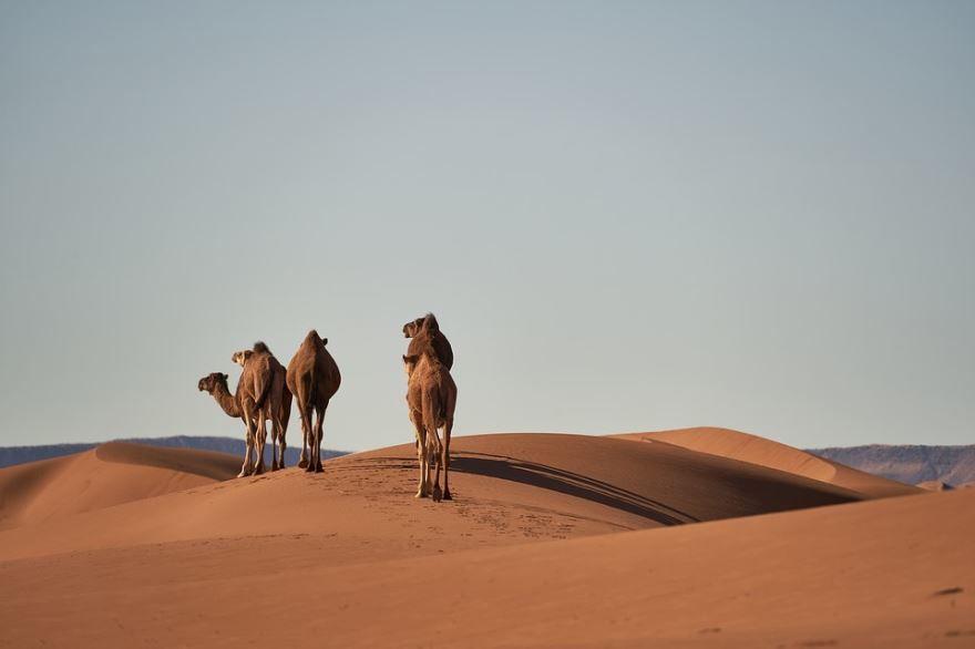 Лучшие фотографии верблюда