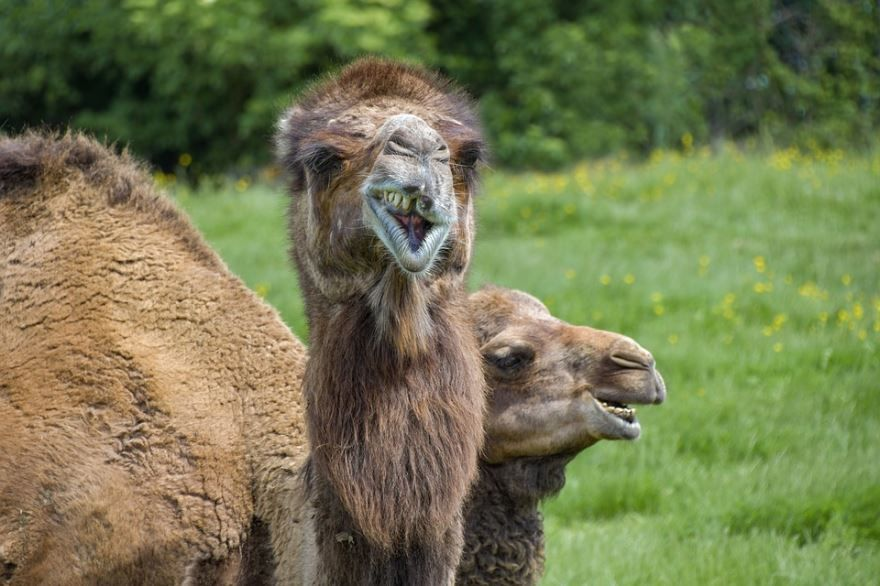 Скачать картинки верблюда онлайн