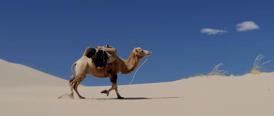 Зачем нужен горб верблюду? Чтобы запасать жир на черный день