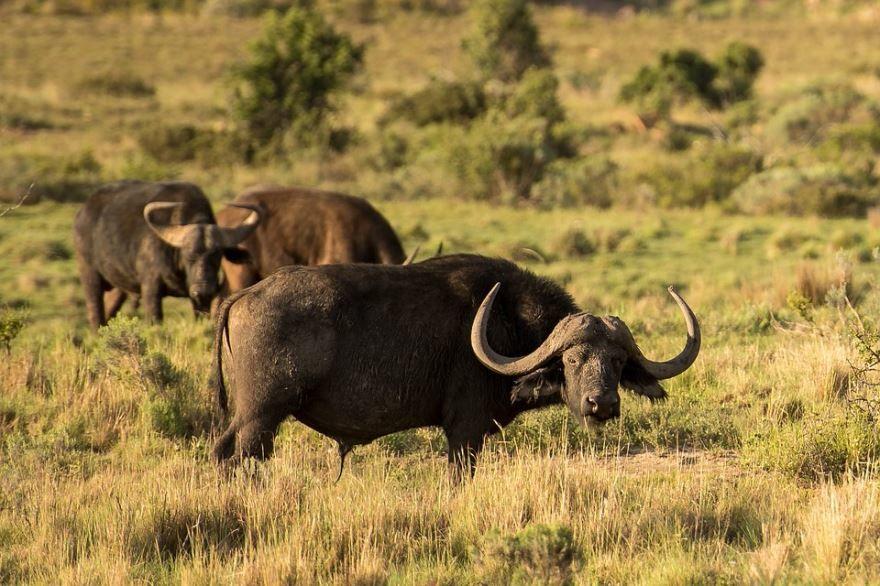 Фото рогов буйвола в хорошем качестве