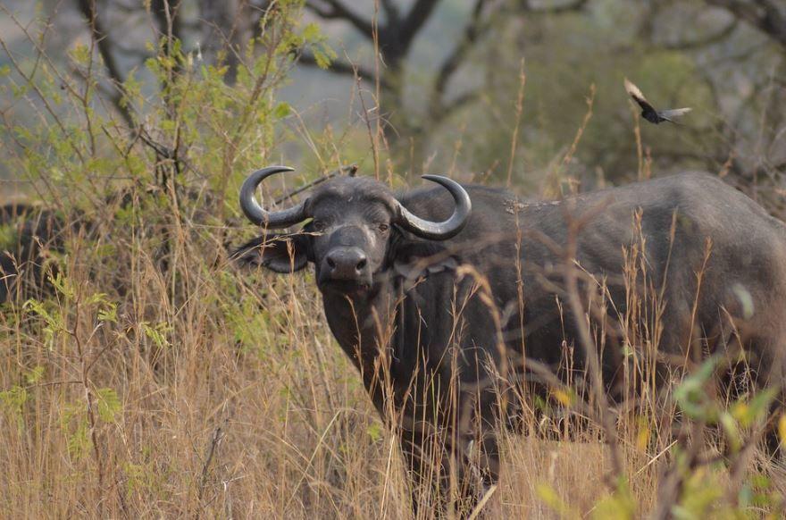 Фото буйвола с огромными рогами