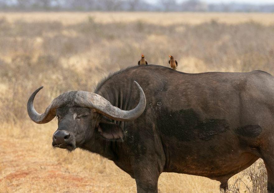 Буйвол - крупное рогатое животное, скачать фото