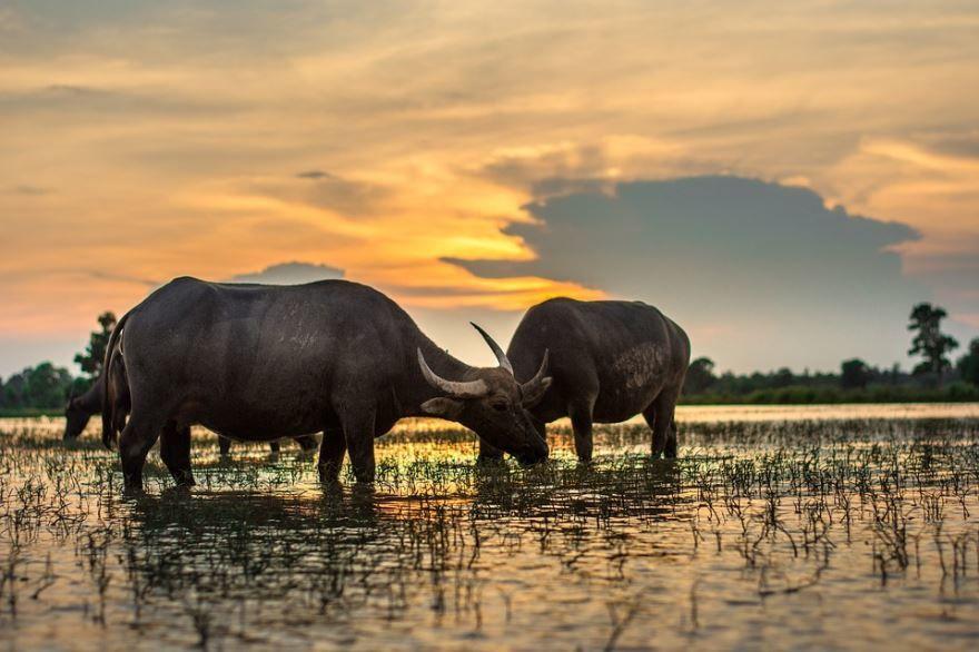 Лучшее фото буйвола бесплатное для скачивания