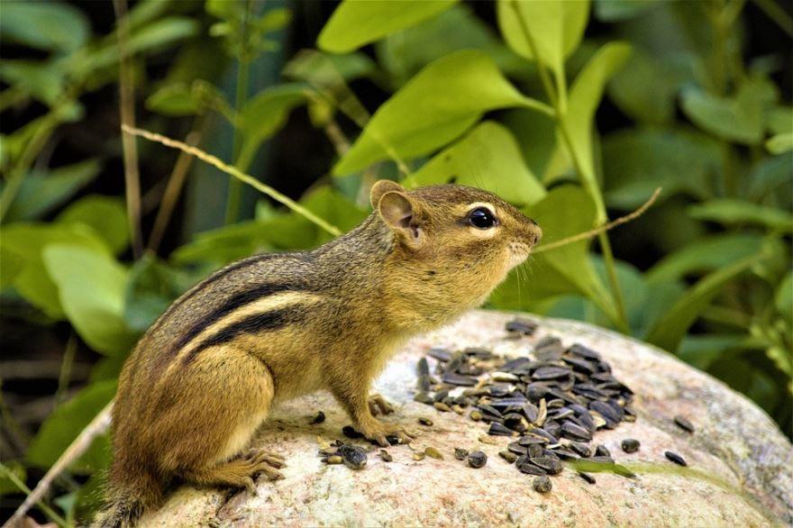 Фото и картинки животного - бурундук в хорошем качестве