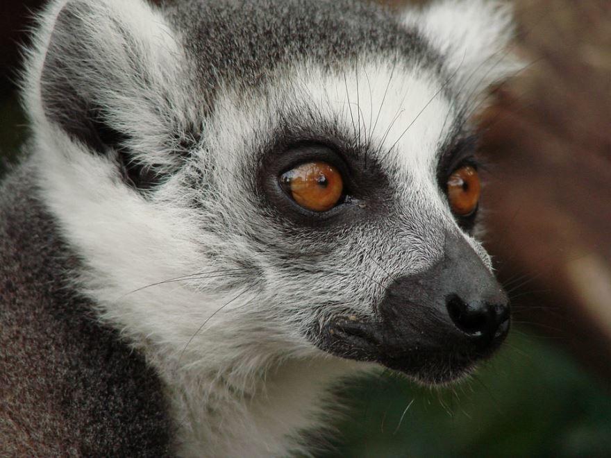 Лучшие фото животного с мадагаскара - лемура