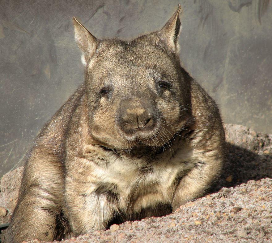 Фото вомбата для тех, кому интересно как выглядит это животное