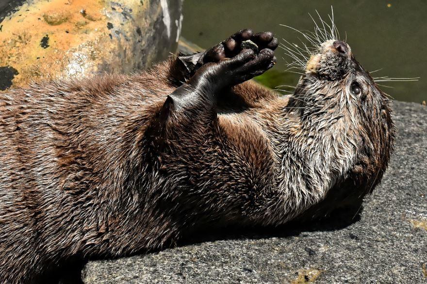 Фото животного - речной выдры