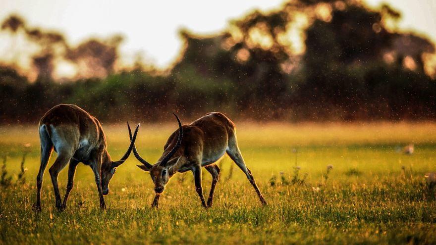 Фото животного - газели