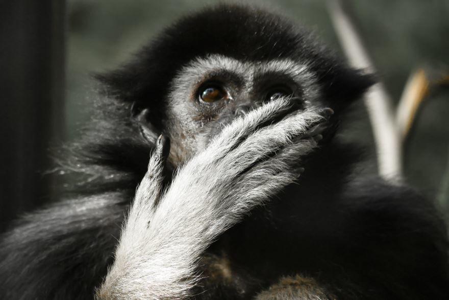 Лучшие фото обезьяны гиббон