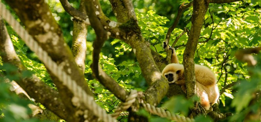Фото обезьяны гиббон паттайя