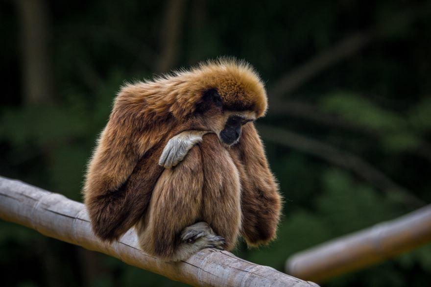 Фото животного рода обезьян - гиббона