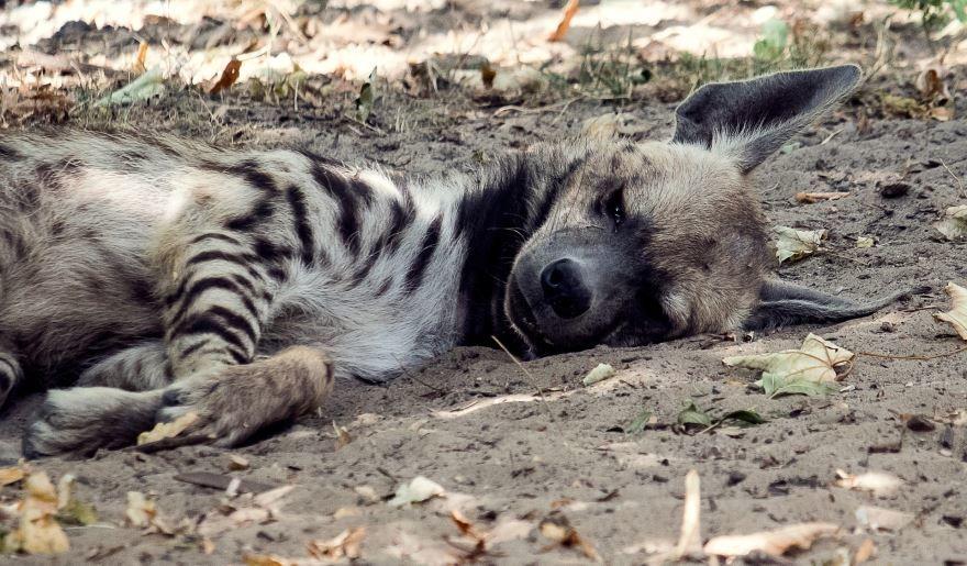 Смотреть лучшие фото бесстрашной гиены