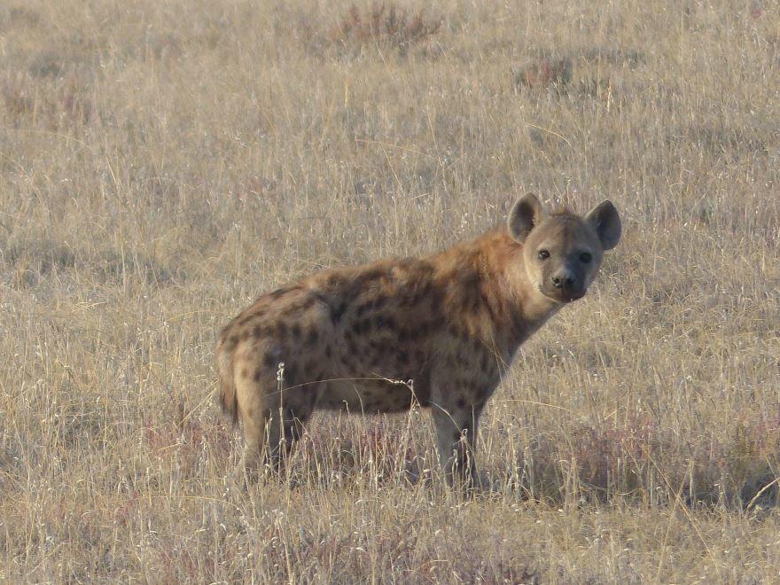 Скачать фото гиены бесплатно