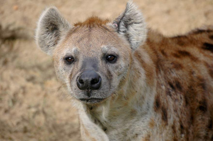 Скачать онлайн фото гиены в хорошем качестве