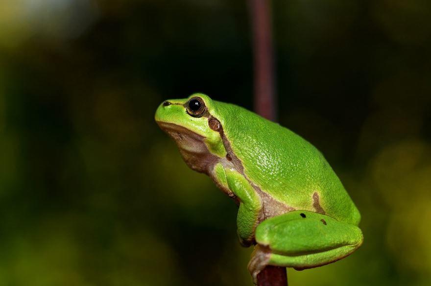 Красивое фото зеленой лягушки