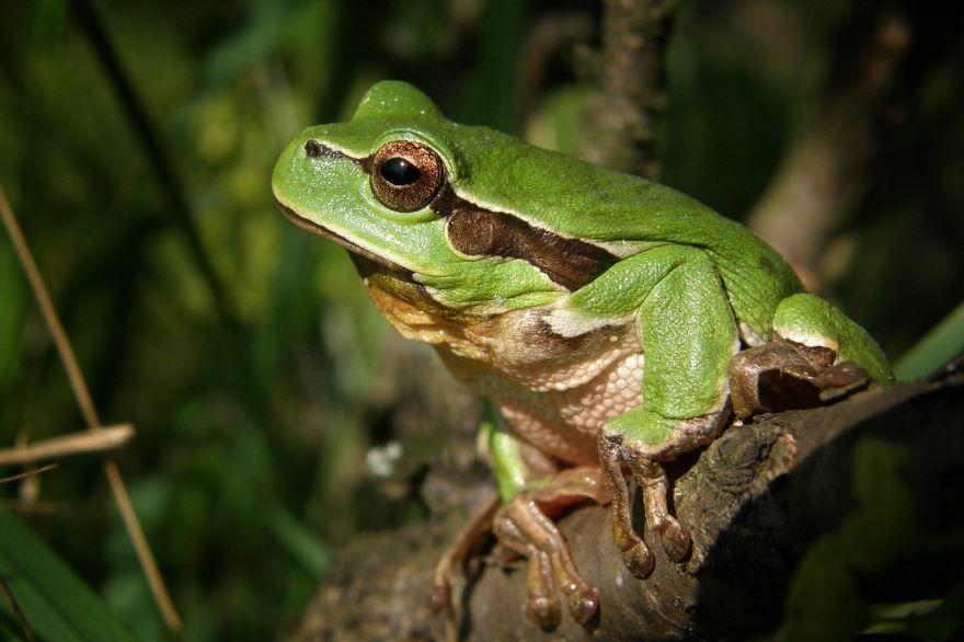 Скачать бесплатно картинку зеленая лягушка