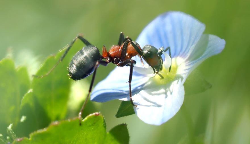 Красивый муравей на зеленом листочке
