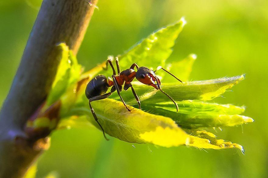 Смотреть картинку красивого муравья крупным планом