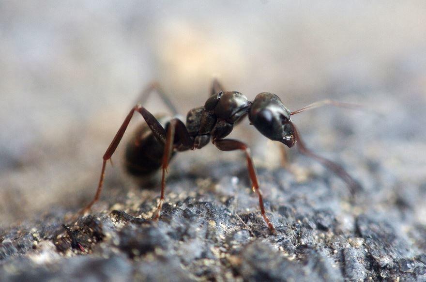 Смотреть картинку красивого муравья